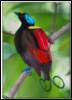 birdoparadise