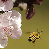Shameless: bee & blossoms