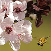 Peach and bee