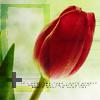 spring - tulip2 - pretty