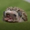 bored hedgie
