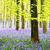 bluebells in woods/England