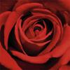 carmine_rose