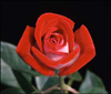 roses_for_tina userpic