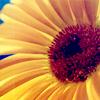 Mindy: misc - sunflower