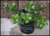 jade plant, gardening