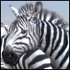 Afrika-Zebra