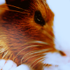 gallifaerie: Animals - Carrot Guinea-pig