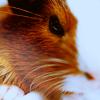 gallifaerie: Animals - Carrot Guinea-pig
