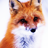 fox -- in the snow