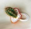 Kaktusososka