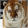 Luna Tiger