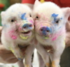 contessanatasha: Cute Pigs