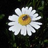 Jennifer Juniper: daiseyfly