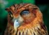 Мигающая сова