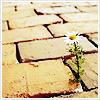 Daisy pavement