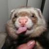 ferret w/ tongue
