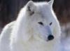 white_wolf_85 userpic