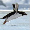 Tels: flying penguin
