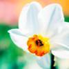 Spring: Daffodil