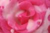 creamiepie rose