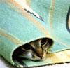 Котик плоский