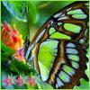 Butterfly Ishida