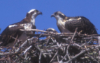 ospreyfamily