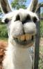 Llama grin