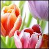 darrus: tulips