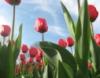 myownrendition: tulips