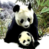 me = true panda lover
