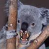 koalafang