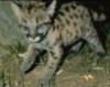 kristina777: леопард :)