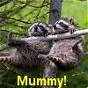 mummy - racoon