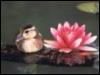 lotus duck
