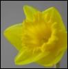daffodilblonde userpic