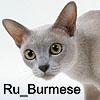 Все о кошках породы Бурма