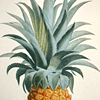 Bush/Hornblower PINEAPPLE