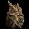 """Dracorex"""