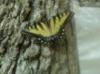 August 2007, W.O./Mayapple Hill Butterfly