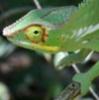 critters: chameleon