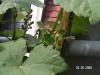 Алена: Виноград