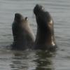 marine mammals, pups, elephant seals