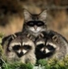 MINDFUCK raccoons