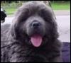 Newf puppy
