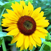 Cheezey: Sunflower