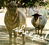 Animals - Sheeps!