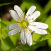 цветик