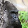 умный горил